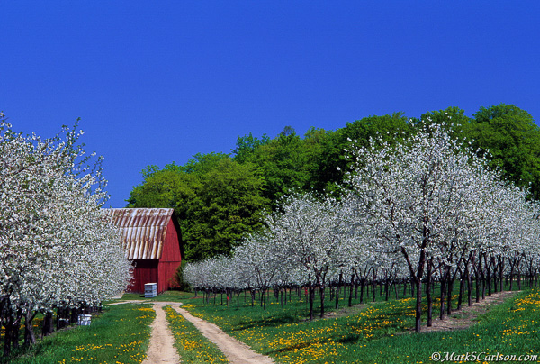 Two-track-leading-to-barn-through-blooming-cherry-orchard