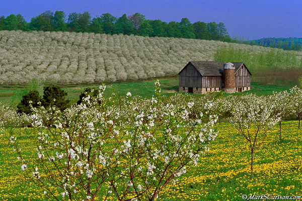 Valley-barn-with-hillside-cherry-orchards-in-bloom