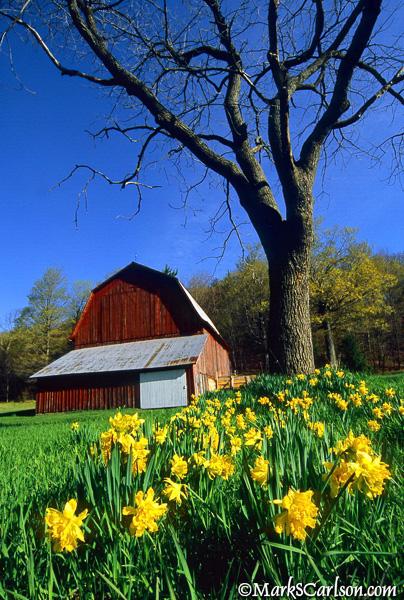 Daffodils-and-barn
