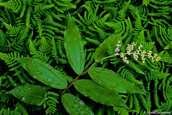 Solomon's-Seal-in-Oak-Fern
