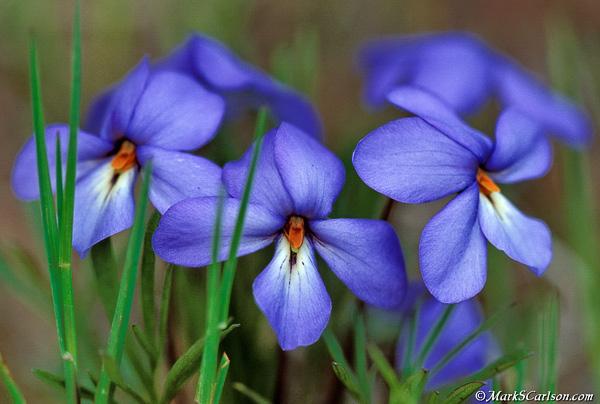 Birdfoot-Violets