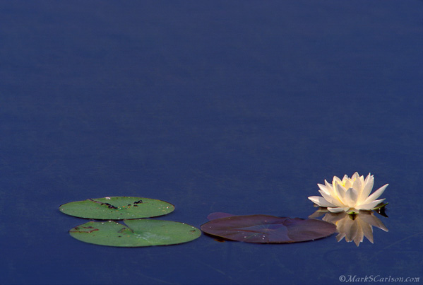Fragrant-White-Water-Lily-three-pads