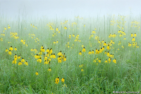 Prairie-Coneflower-meadow-light-fog