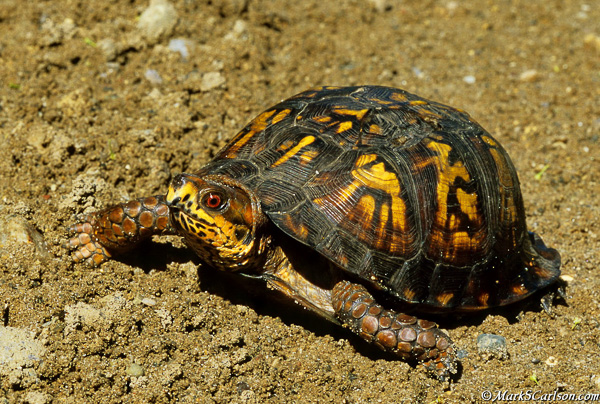 Eastern Box Turtle male