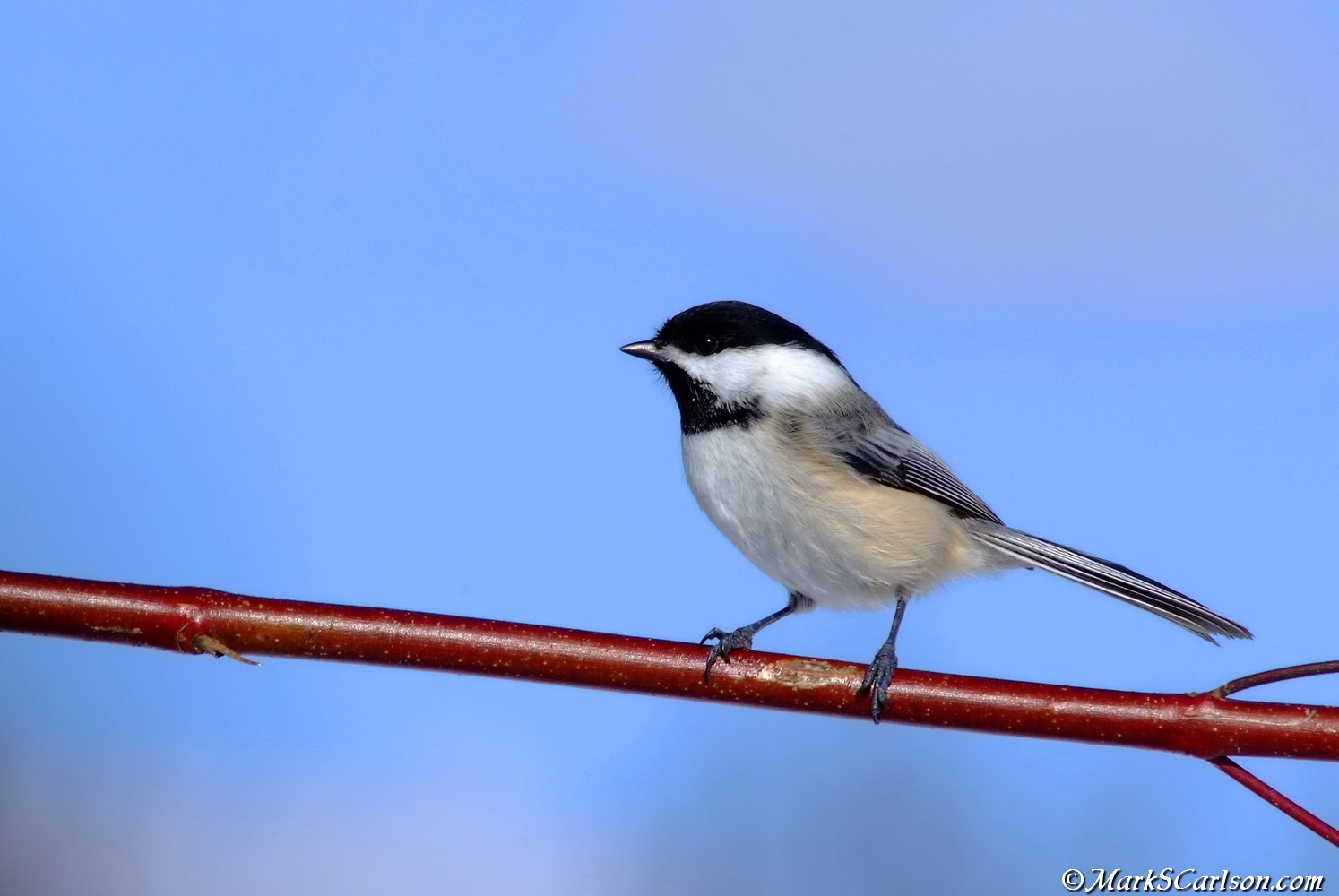 black-capped chickadee profile pose on red osier dogwood branch;©markscarlson.com_resize.jpg
