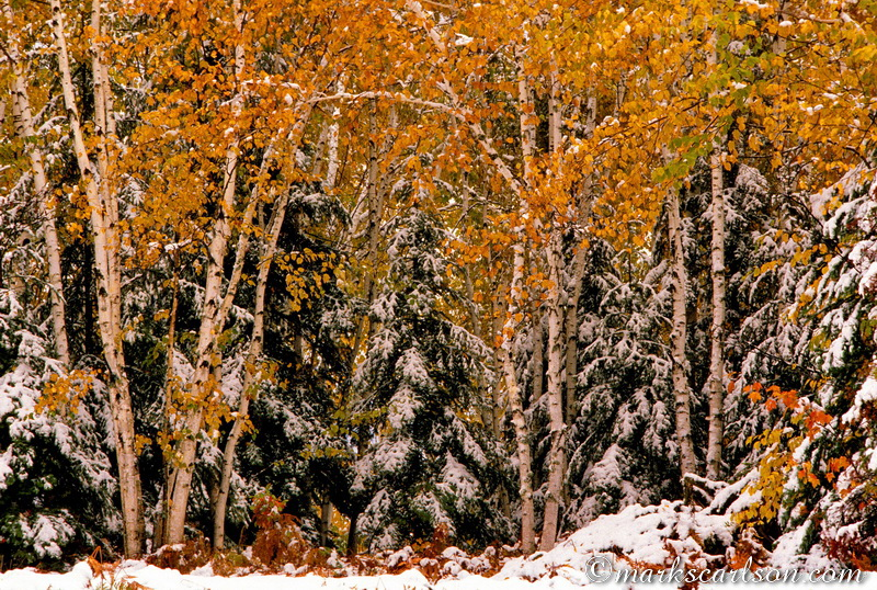 PBT007-Paper birch trees and evergreens in autumn snow ©markscarlson.com