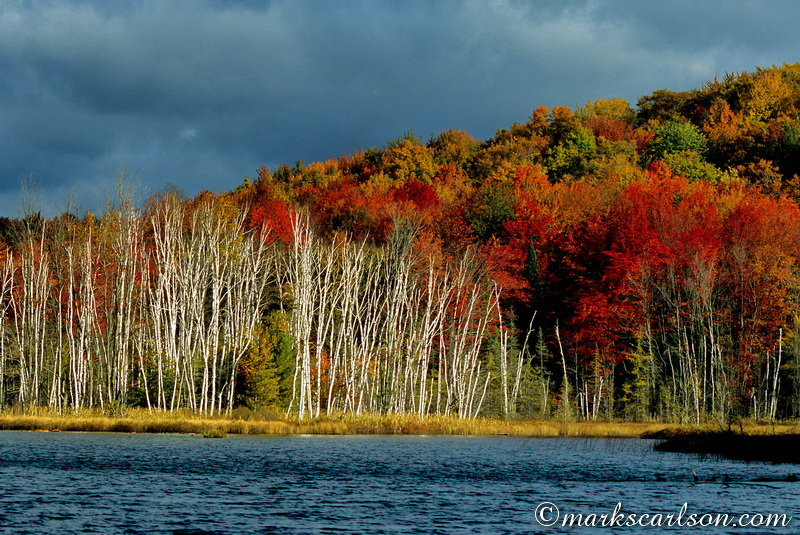 PBT008-Paper birch trees across lake, autumn ©markscarlson.com