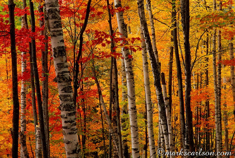 PBT011-Section of U.P. birch and maple forest, autumn ©markscarlson.com