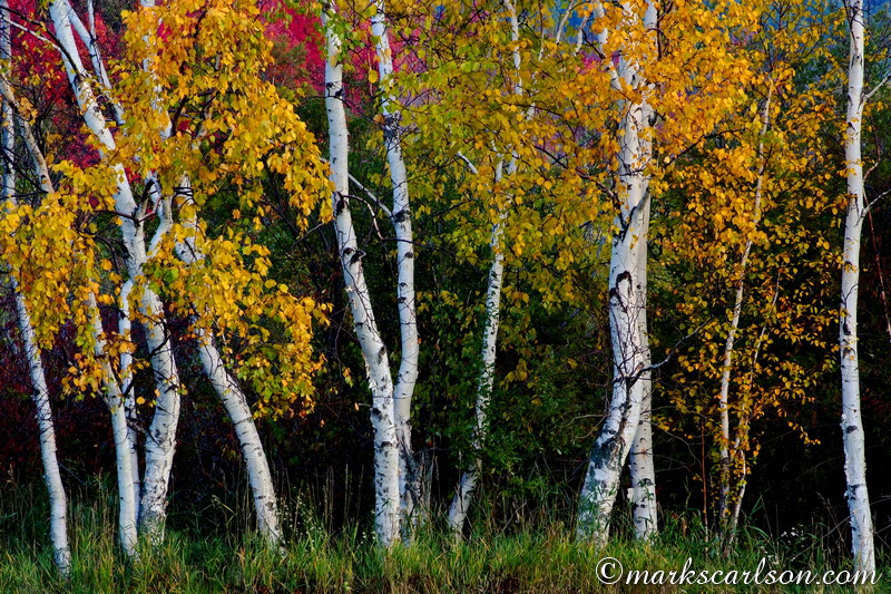 PBT014-Paper birch grove, autumn ©markscarlson.com