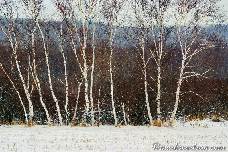 PBT015-Paper birch grove, winter ©markscarlson.com
