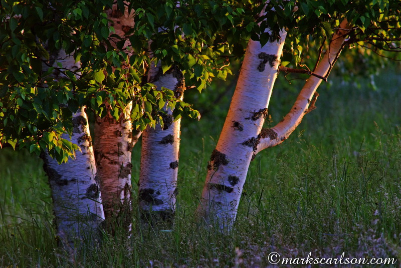 PBT016-Paper birch cluster, late light ©markscarlson.com