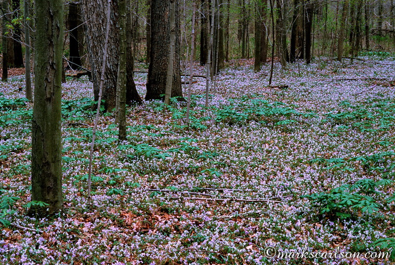 SE030-Woodland carpet of spring beauty ©markscarlson.com