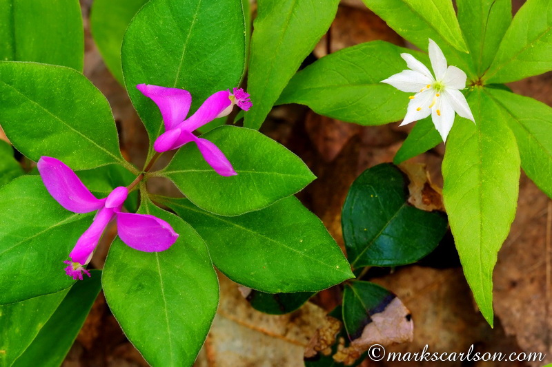 SE009-Fringed polygala and star flower ©markscarlson.com