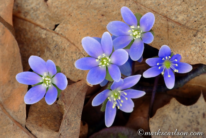 SE016-Round-lobed hepatica emerging through leaf litter ©markscarlson.com