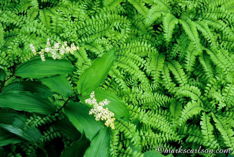 SE018-Solomon's seal in northern maidenhair ferns ©markscarlson.com