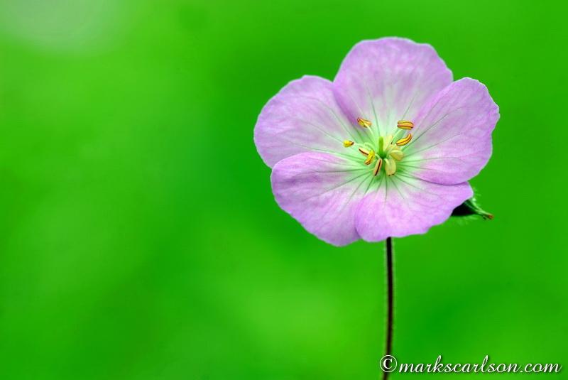 SE027-Wild geranium blossom ©markscarlson.com