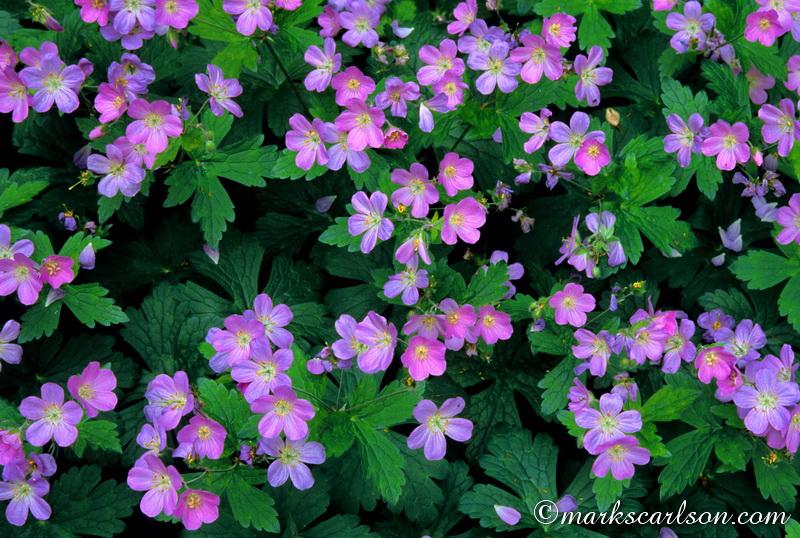SE028-Wild geranium colony ©markscarlson.com