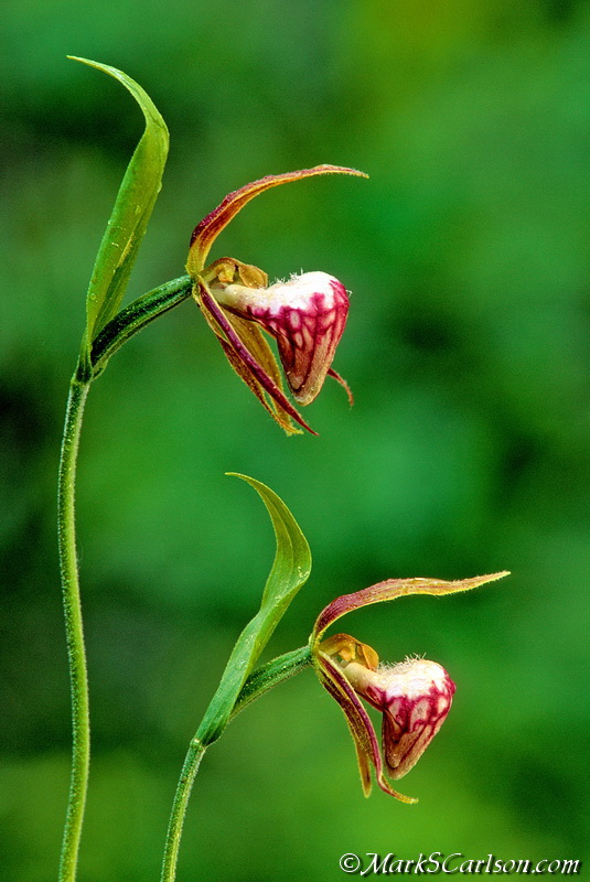 Ram's-head Lady's-slipper orchids (Cypripedium arietinum) ©markscarlson.com