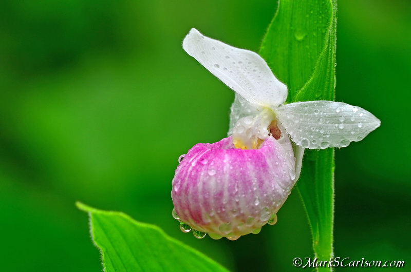 Showy Lady's-slipper orchid (Cypripedium reginae) ©markscarlson.com