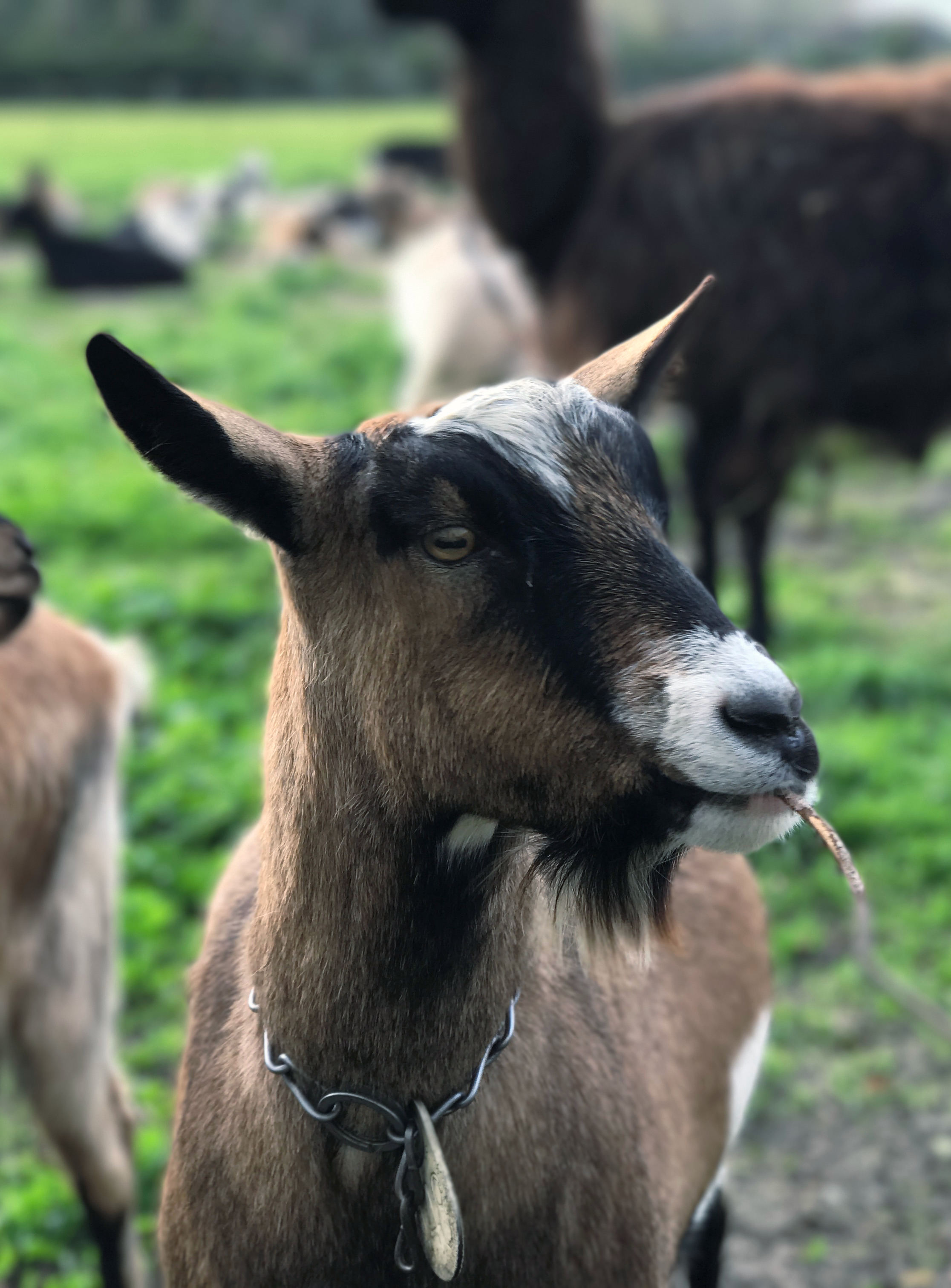 goat-harveys-farm-pascadero-ca-hobo-life