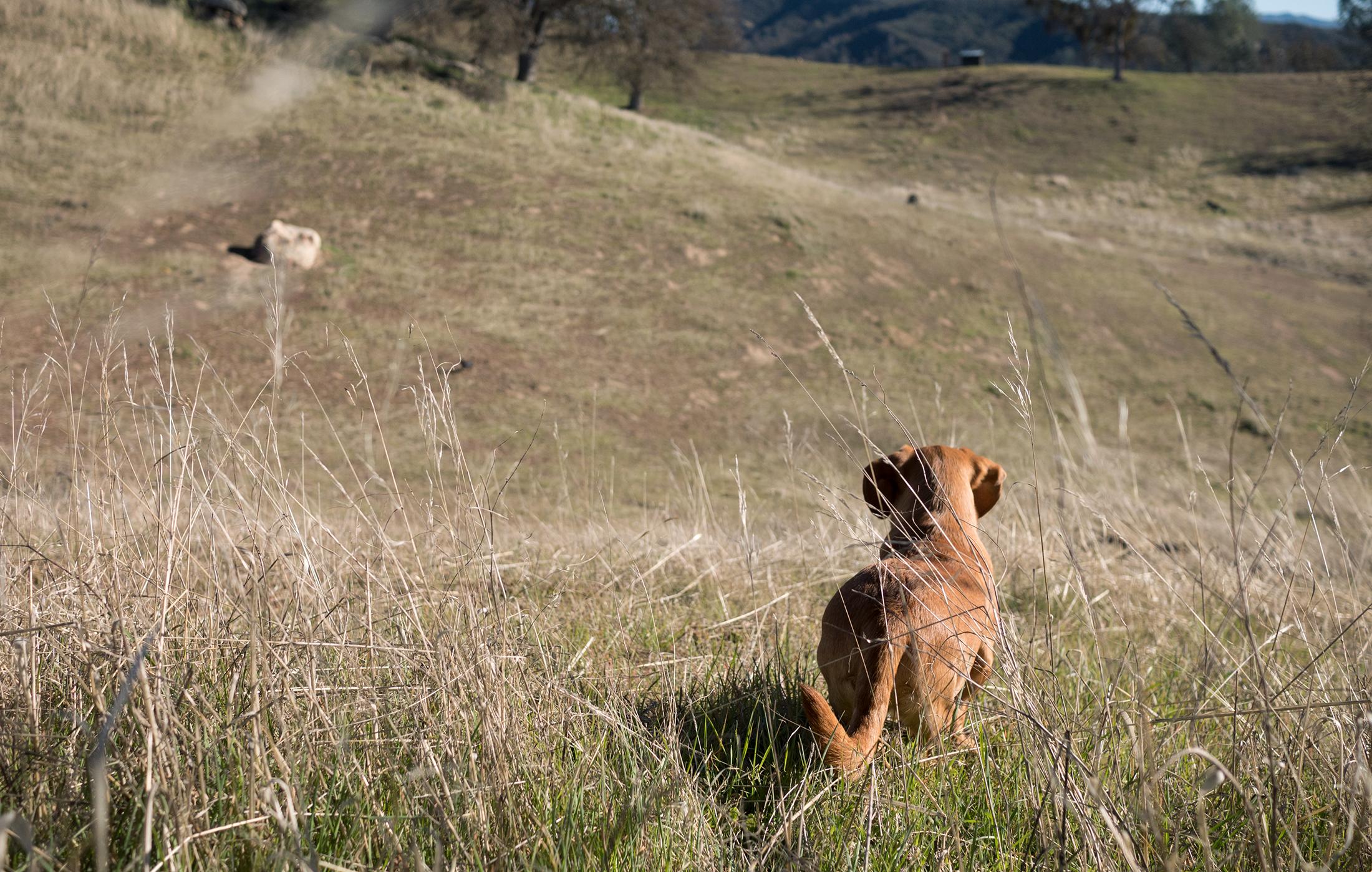 bentley-hobo-life-hoangmnguyen-dachshund