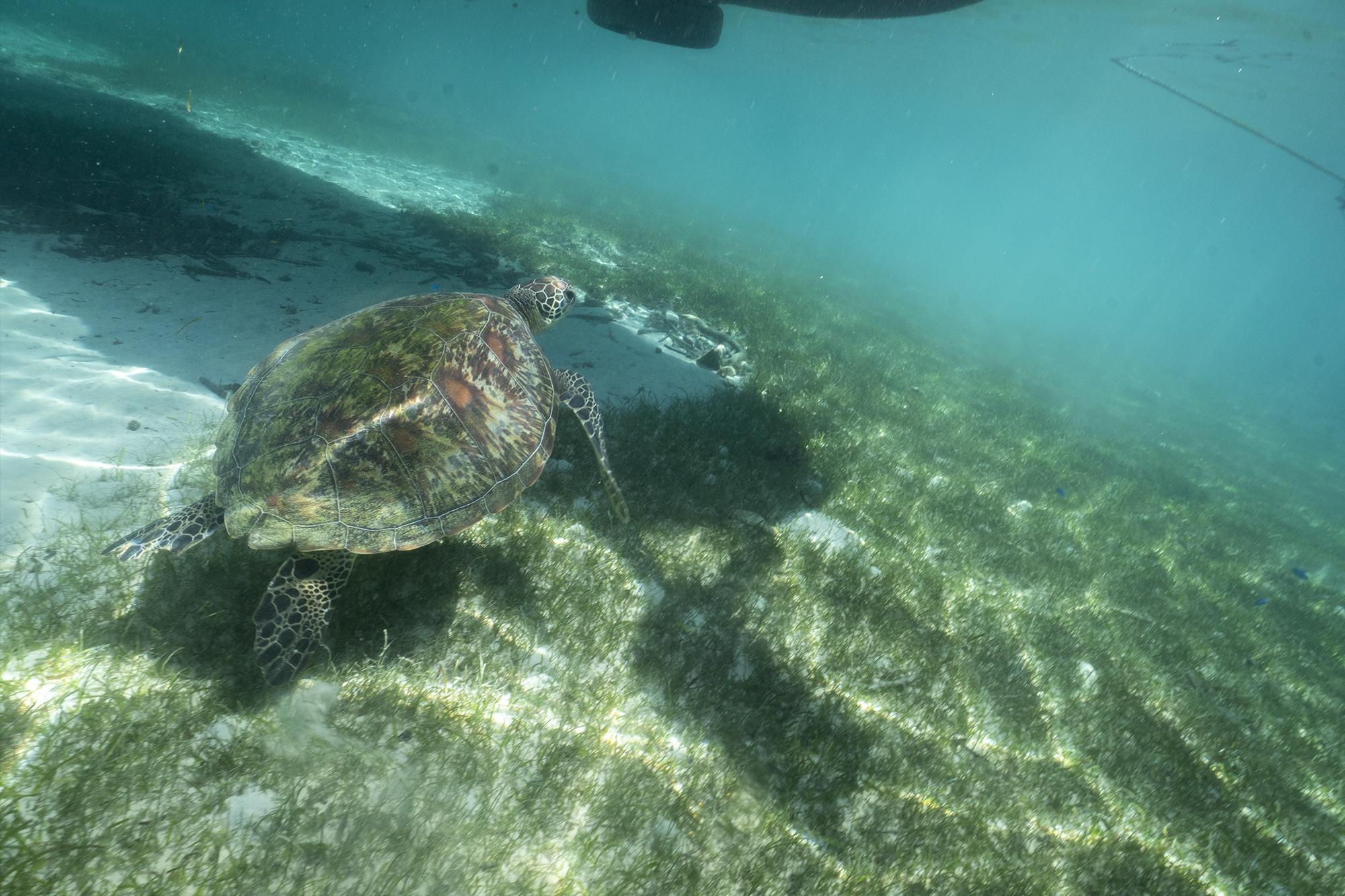 WhaleShark-Cebu-Oslob-hobo-life-hoang-m-nguyen-turtles