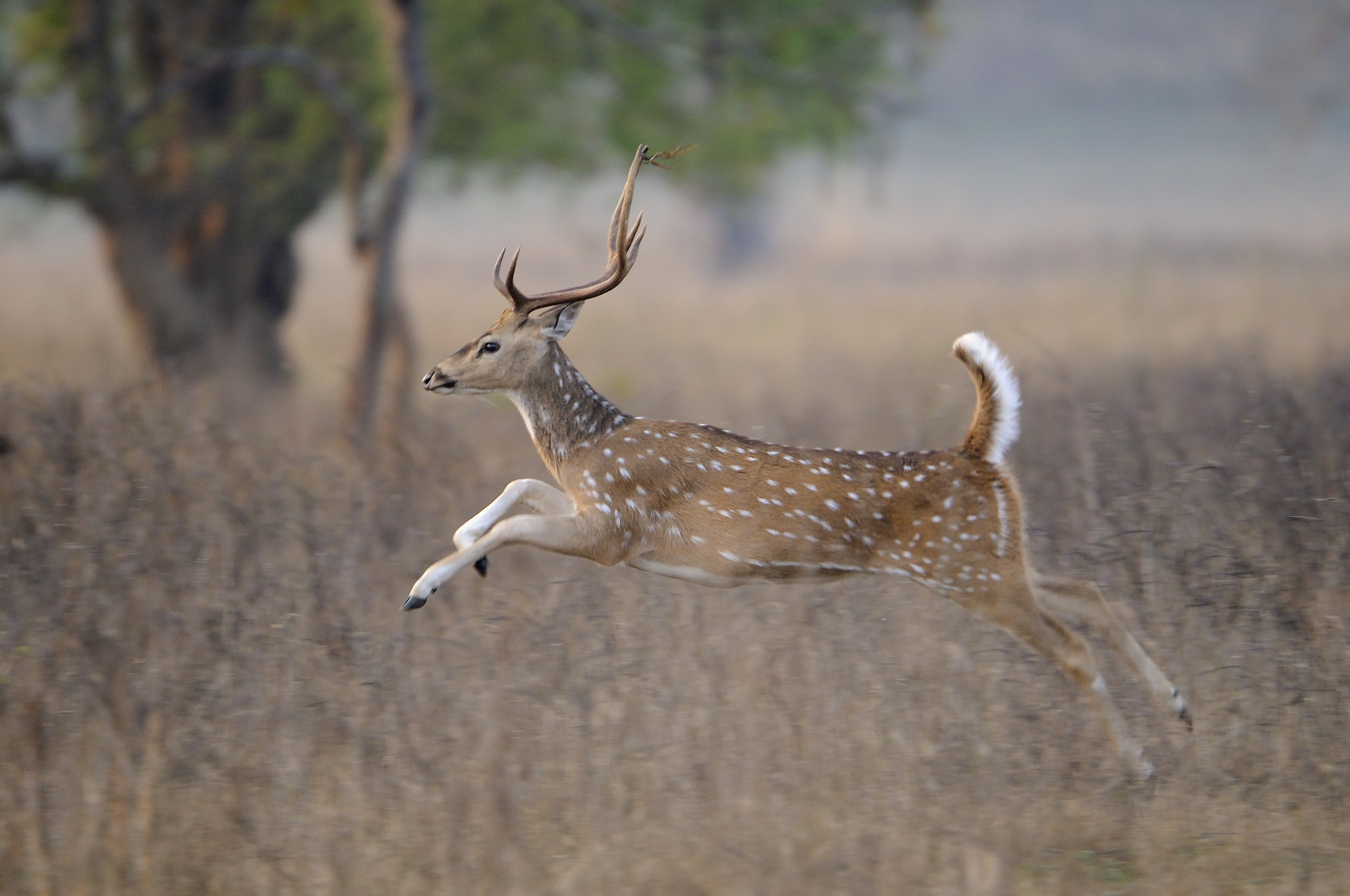 Chital (Spotted deer).  Photograph by Robin Hamilton