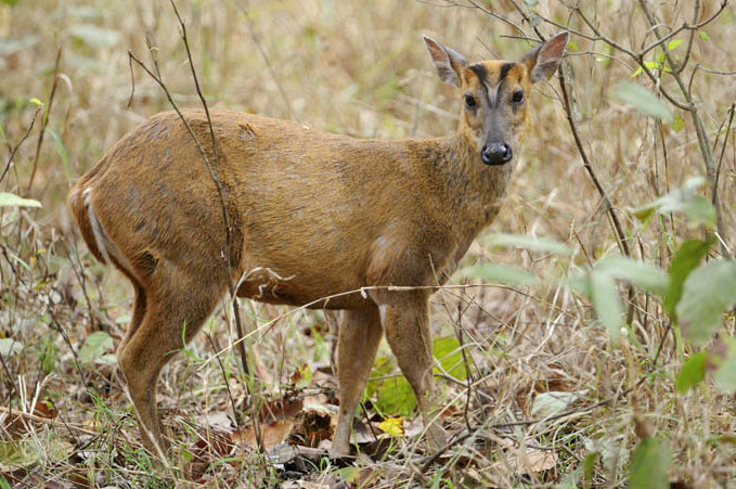 Indian Muntjac (Barking deer).  Photograph by Robin Hamilton