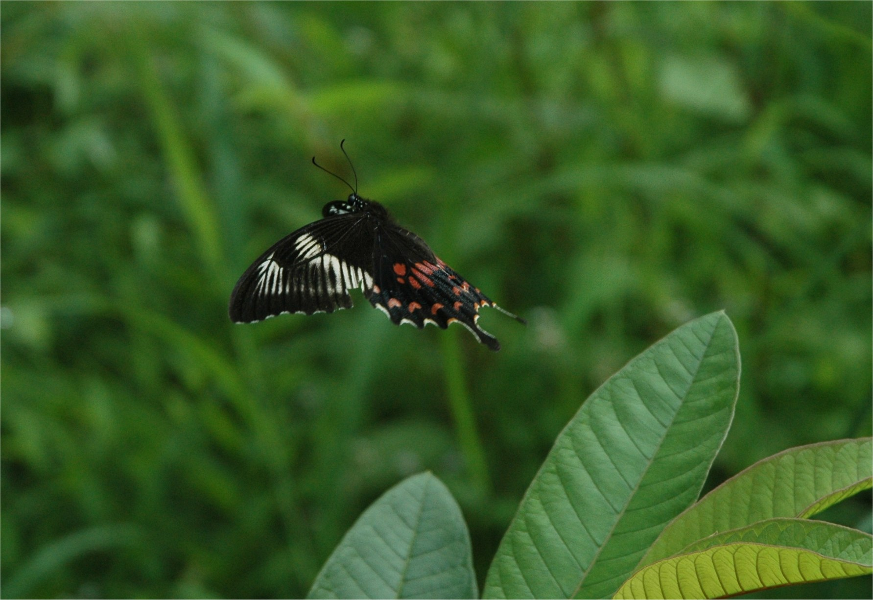 Common Mormon  ( romulus female ) takes flight. Photograph by Katie Bhujwala.