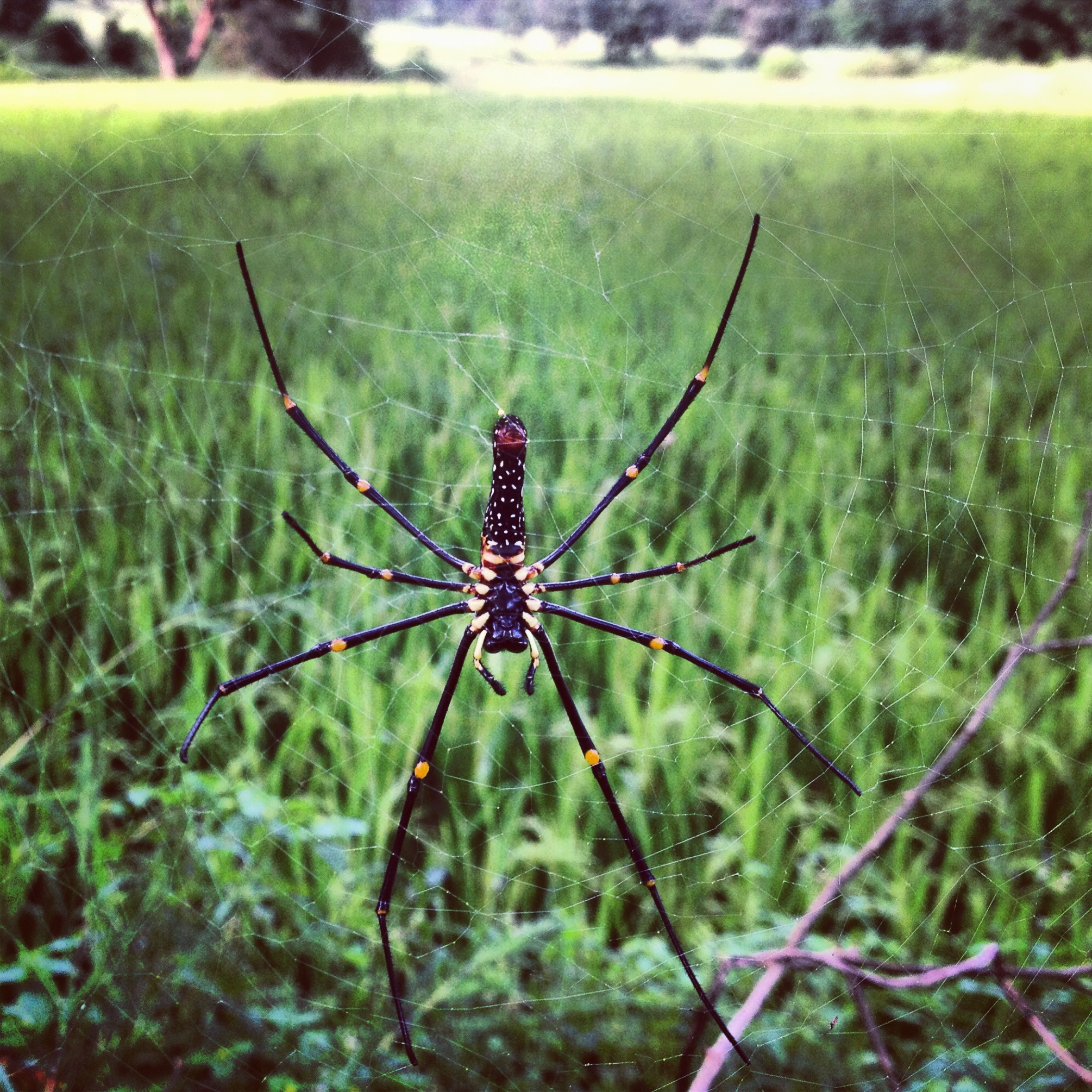 Giant Wood Spider.  Photograph by Katie Bhujwala.