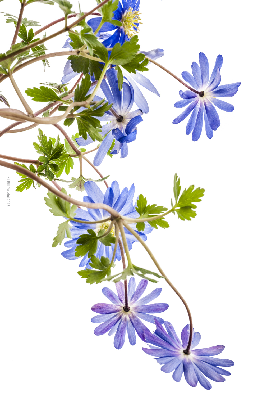 Anemone blanda 'Blue Shade'
