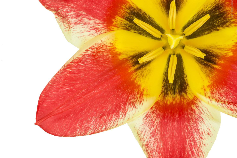 Tulipa 'Plaisir'