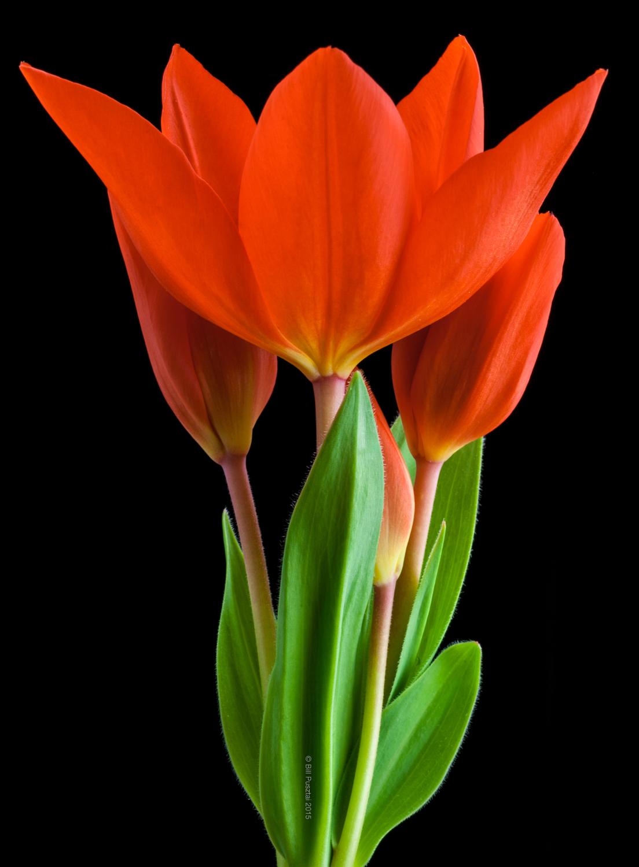 Tulipa 'Praestans fusilier'