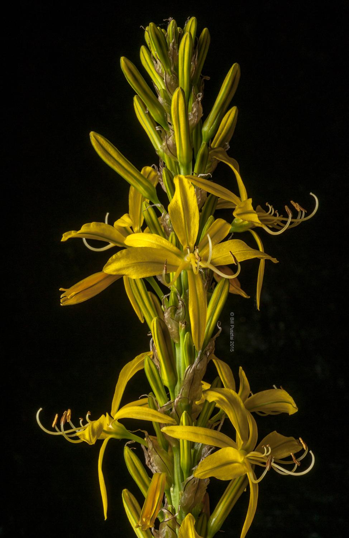 Asphodeline lutea