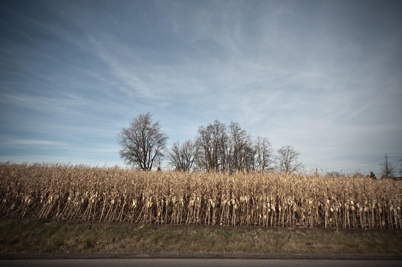 Cornfield, Winter