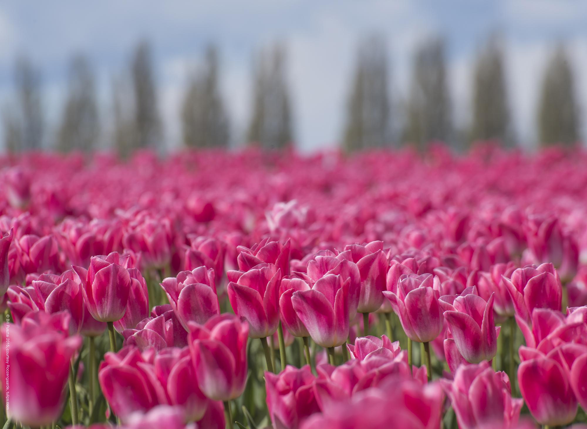 Tulipa 'Dynasty'