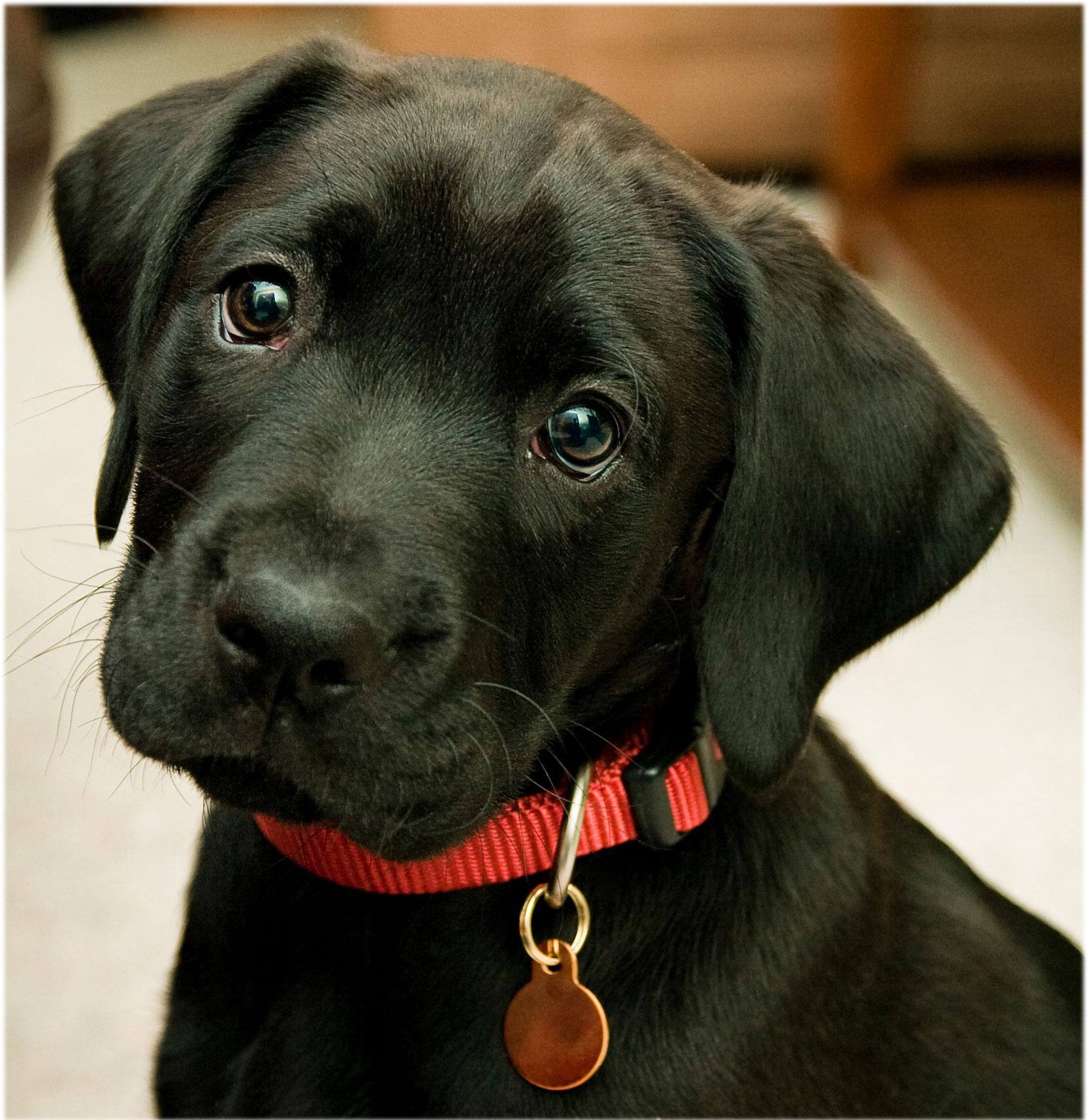 cute lab puppy.jpg