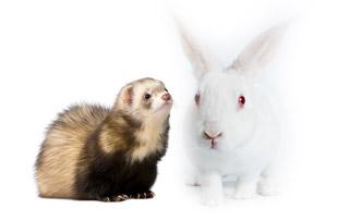 ferret-and-rabbit.jpg