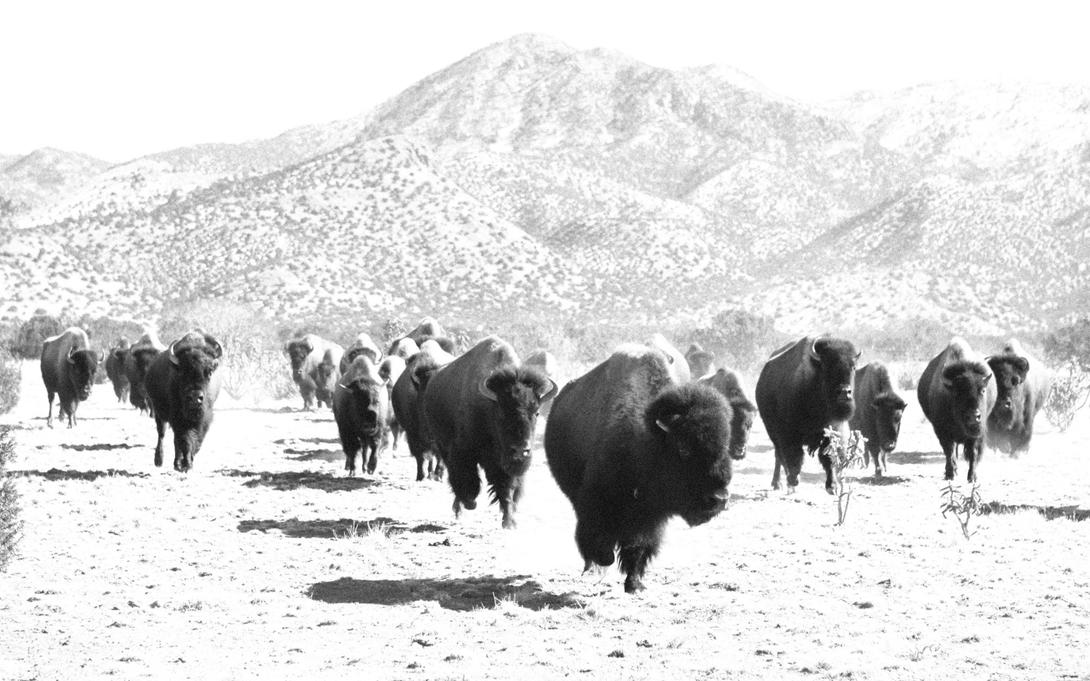 Buffalo Herd, Cerrillos, New Mexico