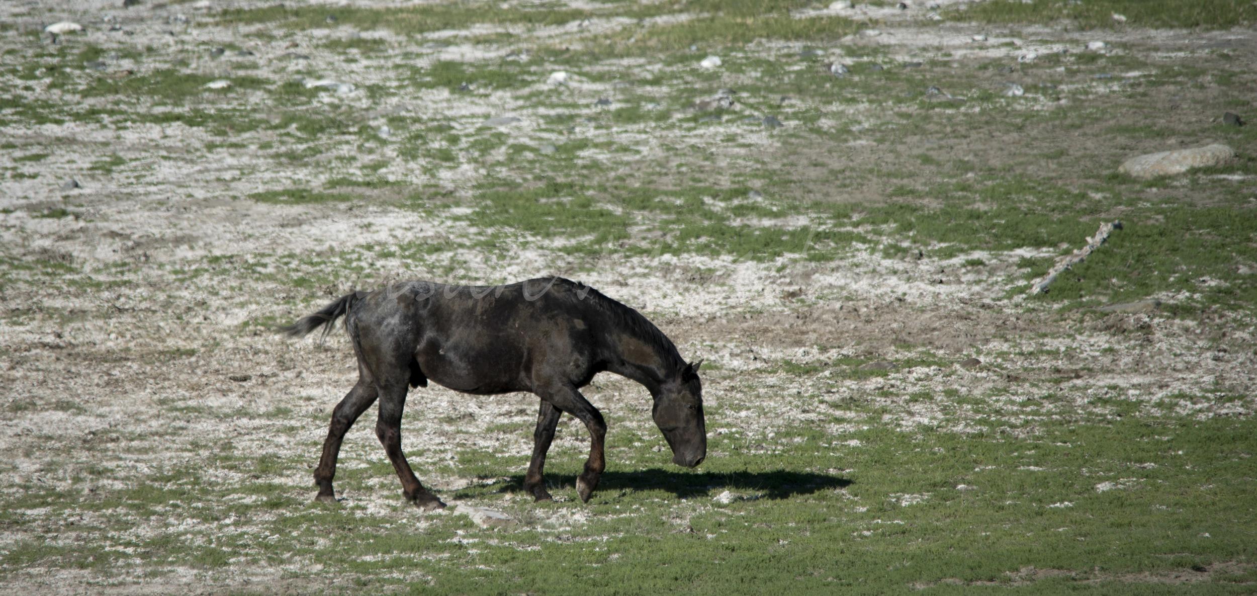 A lone bachelor roams Nemiah Valley June 2015