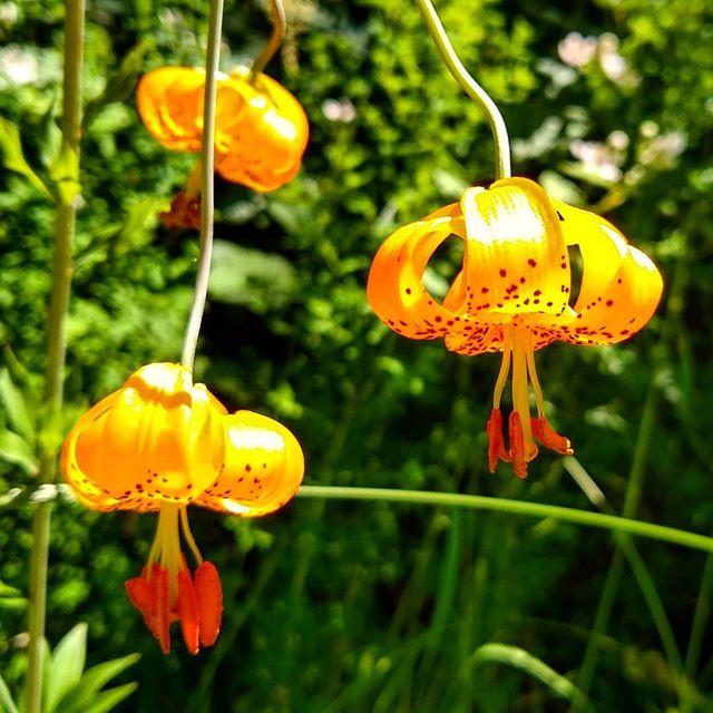 Columbia Lillies on Lacamas Creek