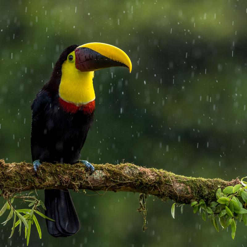 Toucan-under-rain-Costa-Rica-rainforest.jpg