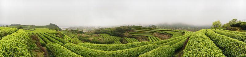 Tea fields in Liang Li's grandparents' hometown. 在梁莉爷爷奶奶的家乡的茶叶。