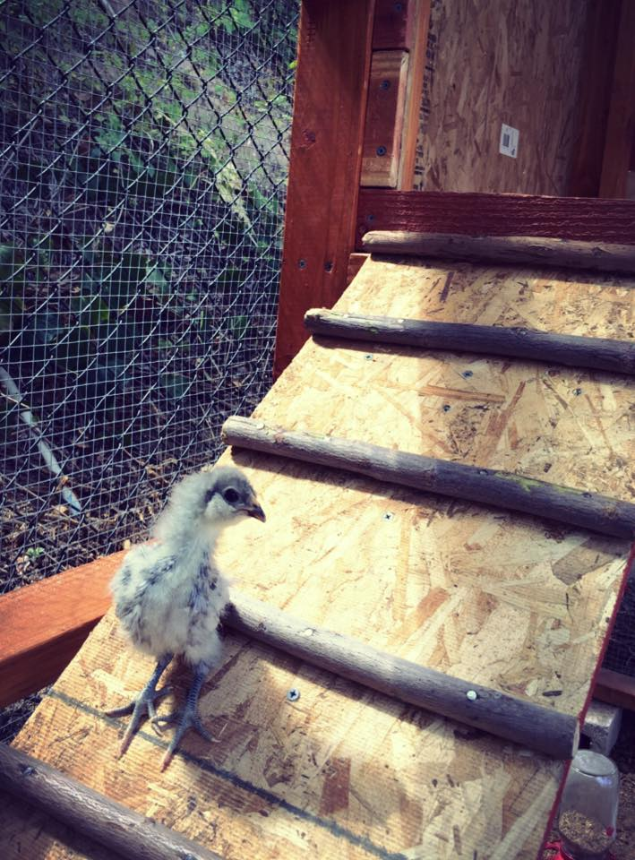Lil' Gray LilliBelle, our Blue Splash Ameraucana tries out the ramp for the first time.