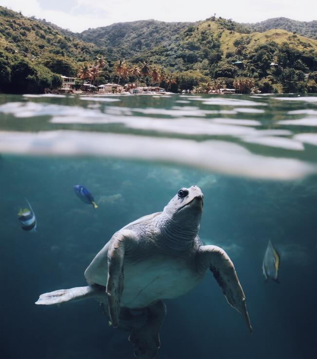 Trinidad Turtle