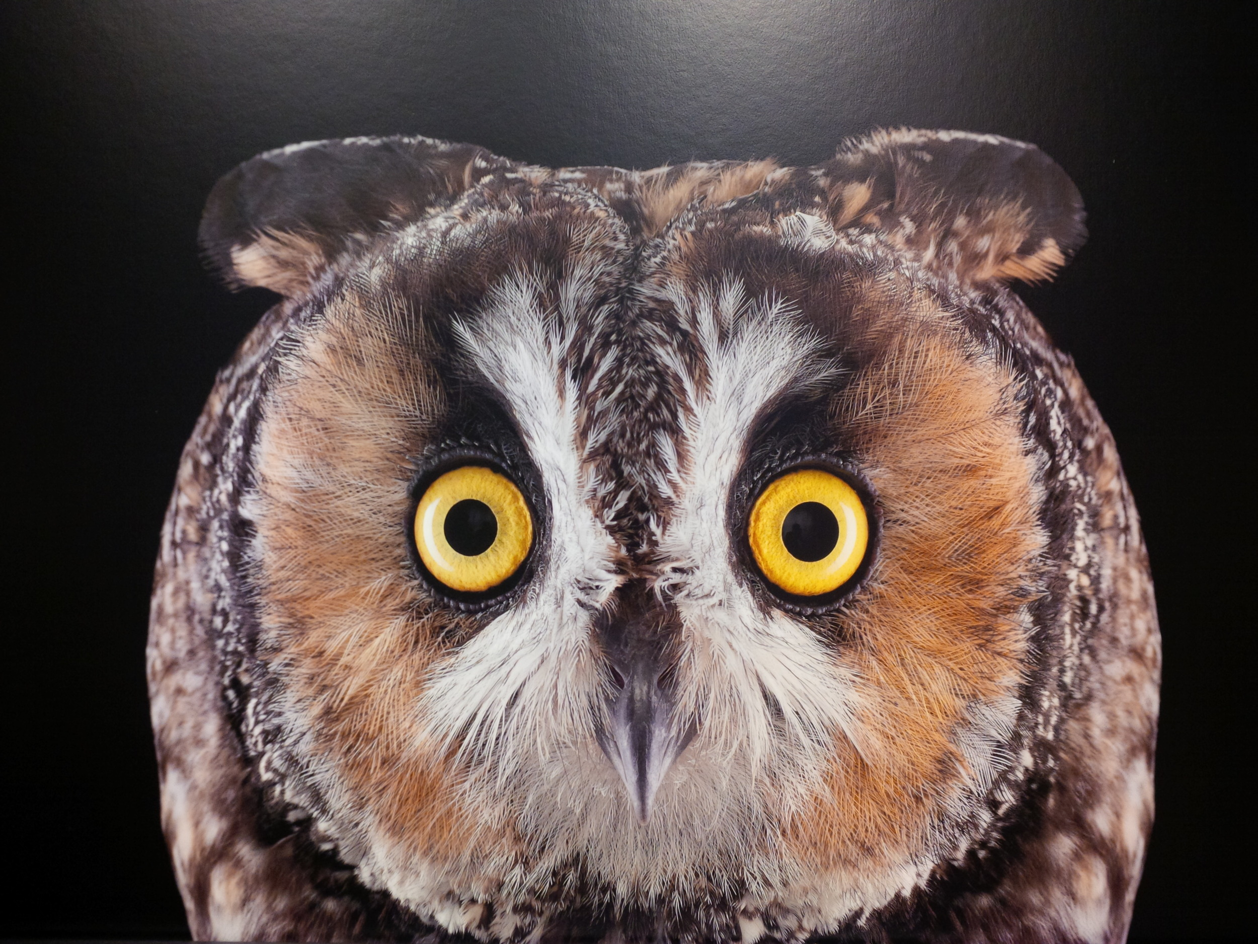Long-Eared Owl by Brad Wilson, at an exhibit I saw in Santa Fe in September 2014.