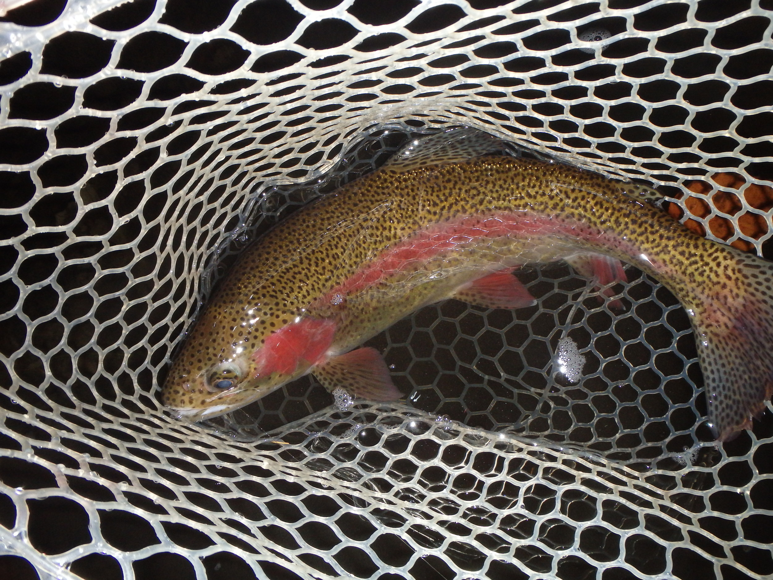 This Rainbow is a great example of our stocking program. She was most likely stocked last spring and measured between 12-14 inches. The full fins and vibrant colors tell the story; she took a small egg pattern on my first cast and measured an honest 20 inches. So now you know why I climb over snow drifts to feed our fish – the rewards are there.