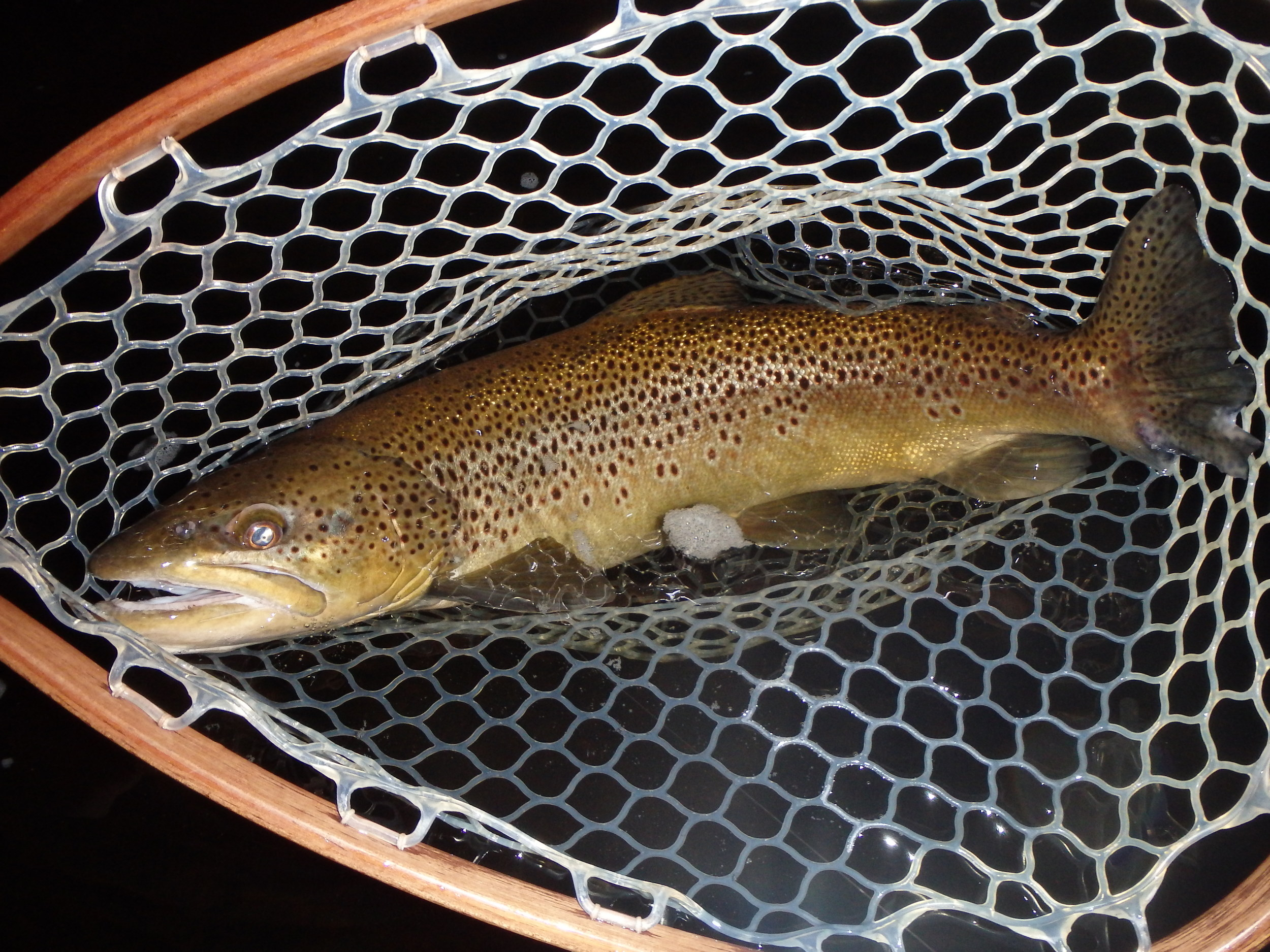 This BWO activity can bring some larger fish to the surface to sip dry flies. The Brown Trout was caught in the River Styx on a size 18 BWO Parachute and 6X tippet.