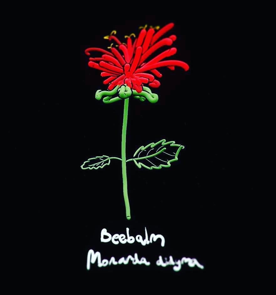 Monarda didyma  is a native wild plant often cultivated in Minneapolis gardens.