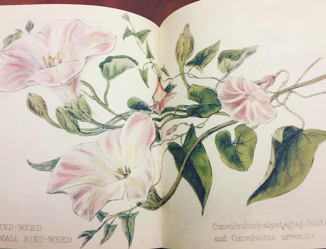 Bindweed, Convolvulva. Lady Wilkinson's Weeds & Wildflowers, 1885.